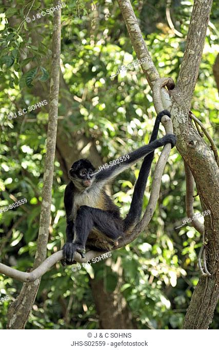 Spider Monkey, Ateles geoffroyi, Roatan, Honduras, adult on tree