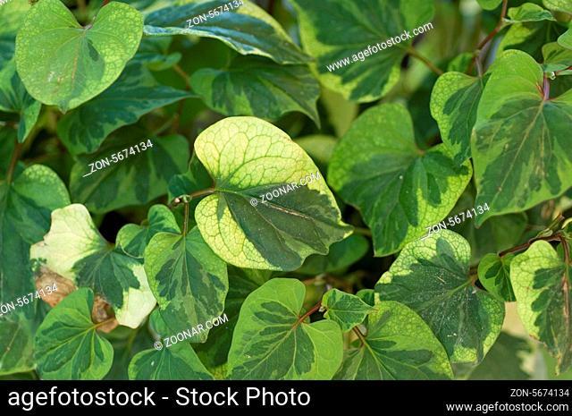 Chamaeleonpflanze; Houthuynie; Herzfoermige; Houthuynia cordata