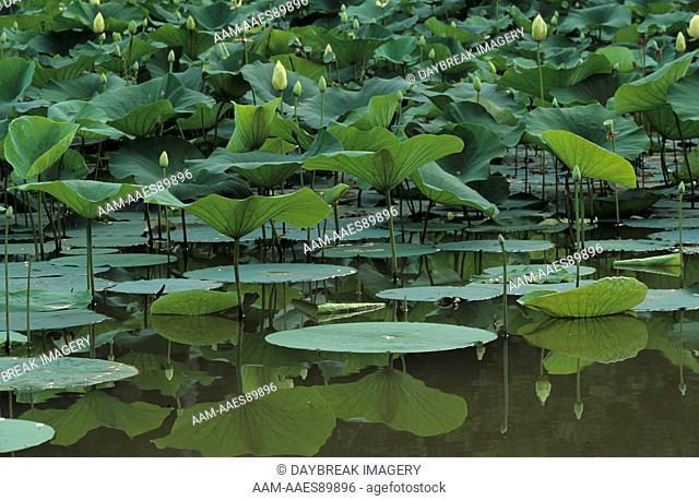American Lotus (Nelumbo lutea) Plants & Reflections, IL