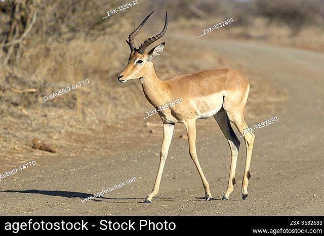 Impala (Aepyceros melampus), adult male crossing a road, Mpumalanga, South Africa