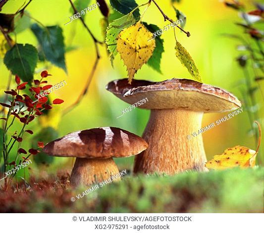 Boletus edulis or Ceps mushrooms  Wild edible mushrooms growing in a forest  Eastern Europe, Russia