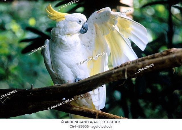 Sulphur-crested cockatoo (Cacatua galerita). Cape York peninsula. Queensland. Australia