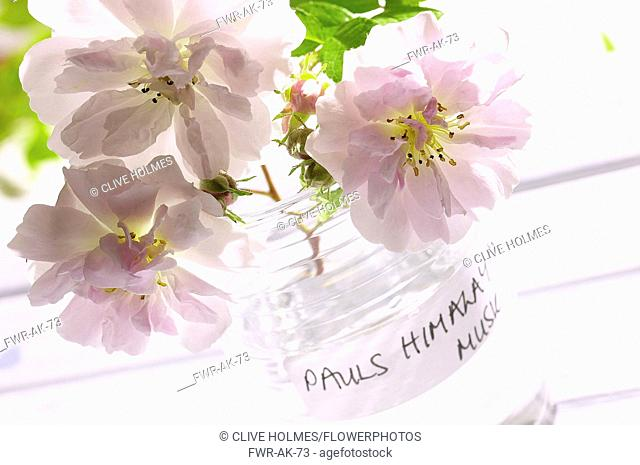Rose, Rosa 'Paul's Himalayan Musk', Three pink cut flowers in glass jar
