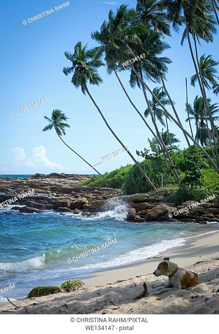 Dog resting on tropical rocky beach with coconut palm trees, sandy beach and ocean. Tangalle, Southern Province, Sri Lanka, Asia