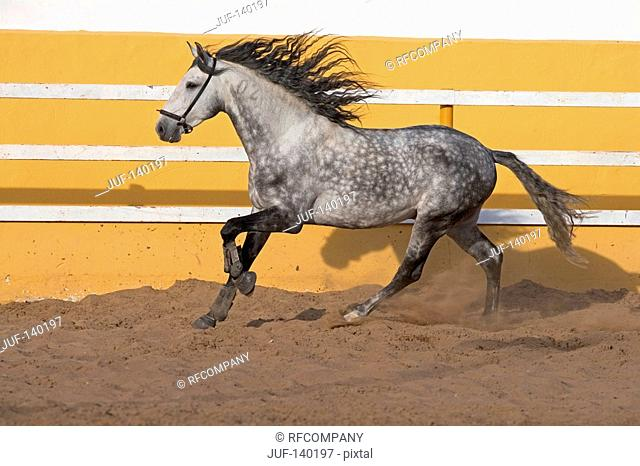 lusitano horse - galloping on sand