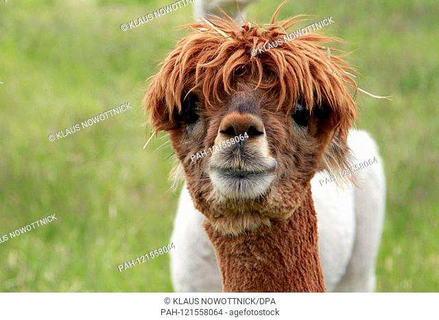 The alpaca (Vicugna pacos) is native to the Andes of South America. In Germany, they are bred mainly for wool. Alpacas are a domesticated camel form