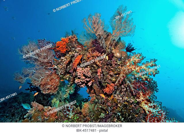 Coral block densely covered with various corals, Vermillion seabass (Cephalopholis miniata), Raja Ampat, Papua Barat, West Papua, Pacific, Indonesia