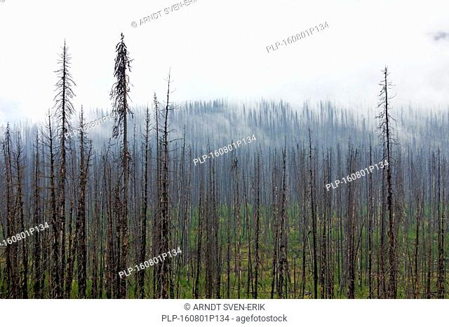 Charred lodgepole pines burned by forest fire, Kootenay National Park, British Columbia, Canadian Rockies, Canada