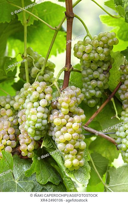 Spain, Guipuzcoa, Getaria, Bunch of grapes for txacoli wine production