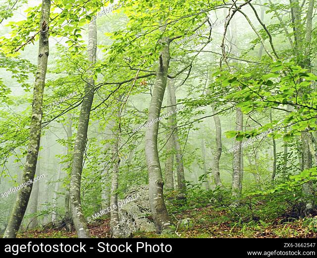 Misty beech forest (Fagus sylvatica) at Coll Sesferreres site. Summer time at Montseny Natural Park. Barcelona province, Catalonia, Spain