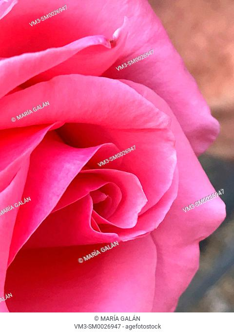 Rose. Close view