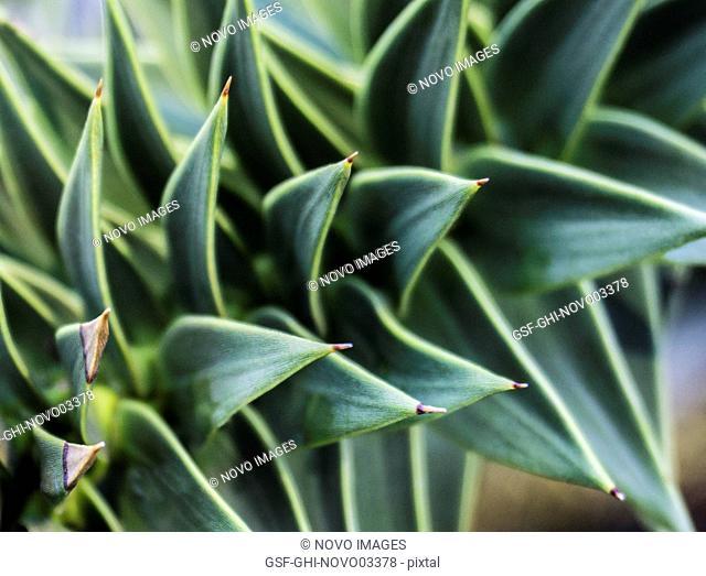 Echeveria Succulent Plant 2