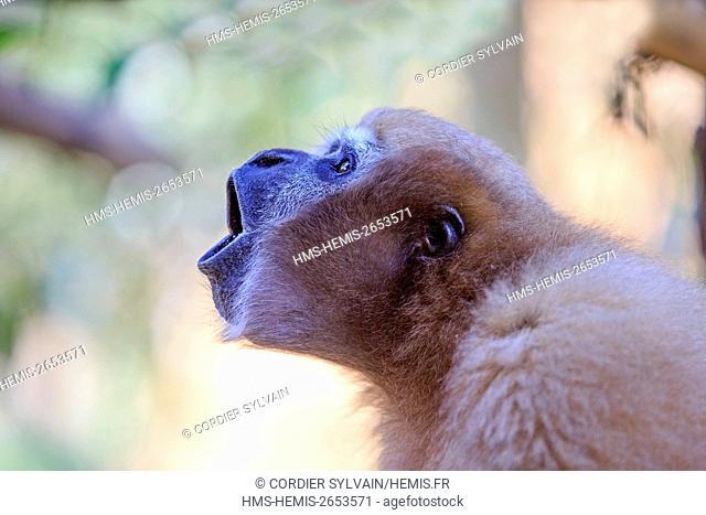 India, Tripura state, Gumti wildlife sanctuary, Western hoolock gibbon (Hoolock hoolock), adult female