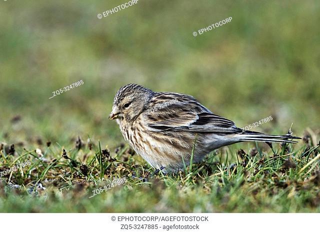 Twite, Linaria flavirostris, Pangong Tso, Leh Ladakh, Jammu and Kashmir, India