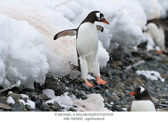 Adult gentoo penguin Pygoscelis papua leaping off ice shelf at Cuverville Island, Antarctica, Southern Ocean