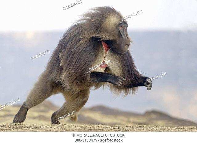 Afrique, Ethiopie, Vallée du Rift, Debre Libanos, Gélada (Theropithecus gelada), mâle sautant / Africa, Ethiopia, Rift Valley, Debre Libanos