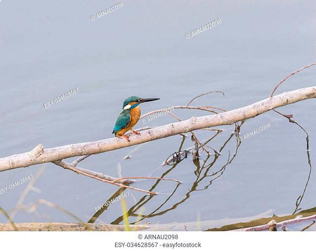 Alcedo atthis, kingfisher, hanging from a tree branch