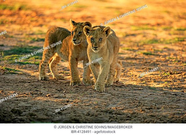 Lions (Panthera leo), two cubs, four months, siblings, Tswalu Game Reserve, Kalahari Desert, North Cape, South Africa