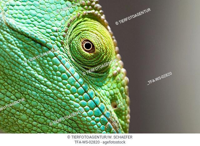 Parsons chameleon
