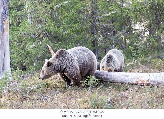 Europe, Finland, Kuhmo area, Kajaani, Brown bear (Ursus arctos horribilis), adult female and baby