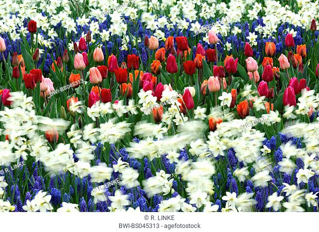 common garden tulip (Tulipa gesneriana), flowerbeds with garden tulips and daffodill, Narcissus pseudonarcissus and common grape hyacinths, Muscari botryoides
