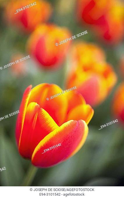 Close-up of a a variegated orange and yellow tulip in a garden in the springtime
