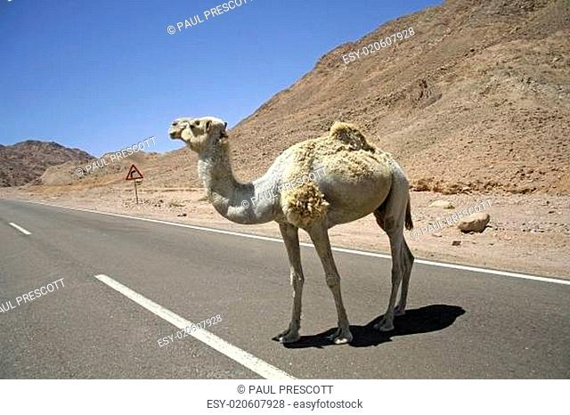 camel in the red sea region, sinai, egypt