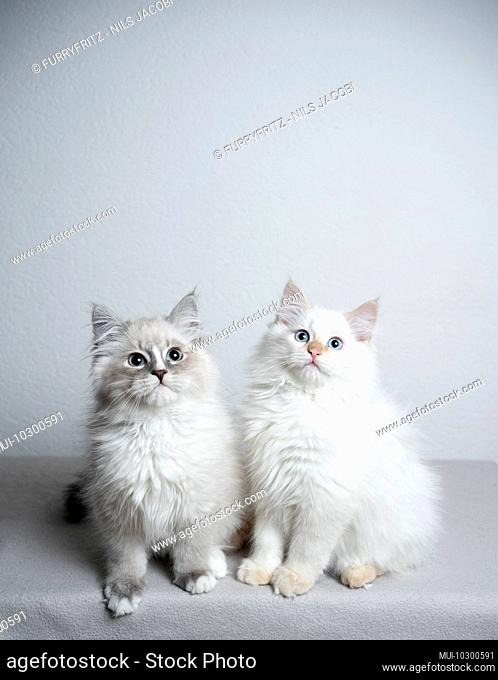 two cute ragdoll kittens sitting next to each other looking up curiously in front of white background