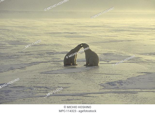 POLAR BEAR, (Ursus maritimus) PAIR QUARRELING ON ICEFIELD, CHURCHILL, MANITOBA, CANADA