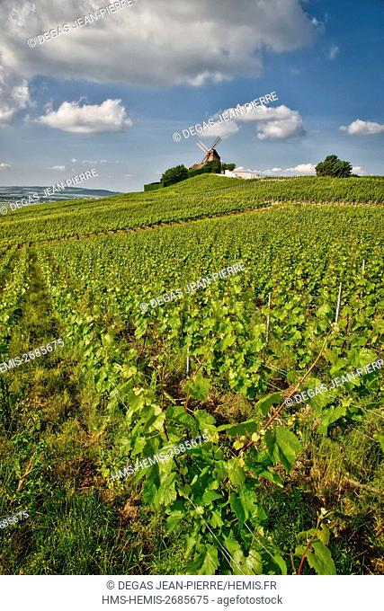 France, Marne, Verzenay, mountain of Reims, Boeuf Mount, Verzenay mill of the 19th century in the vineyard of Grand Cru classified Champagne