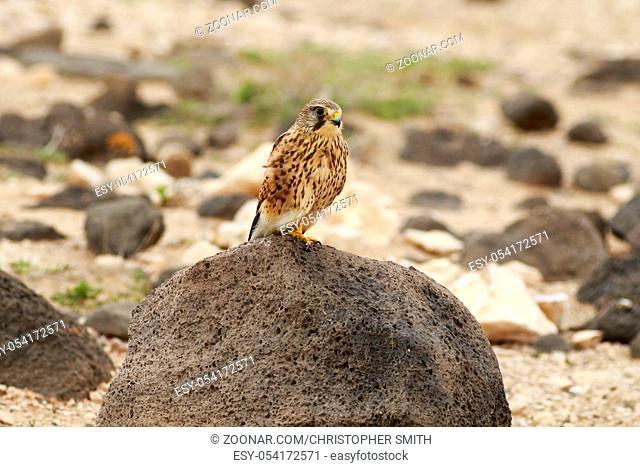 Kestrel (Falco tinnunculus) Perched on a rock