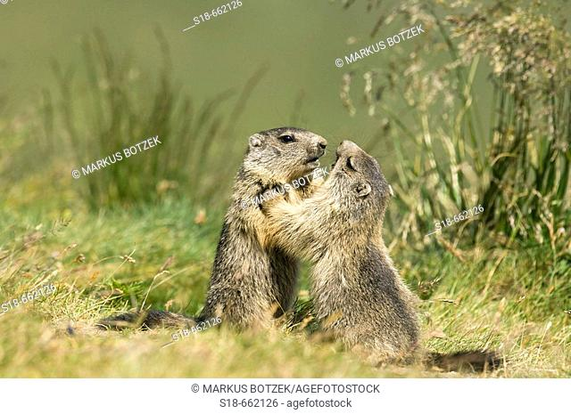Two young marmots fighting playful (Marmota marmota). Hohe Tauern, Austria