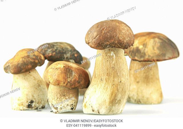 cep boletus edulis mushroom