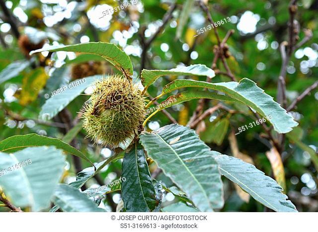 chestnut, La, Vajol, Alt, Emporda, Girona, province, Catalonia, Spain, forest, autumn pyrenees, tree