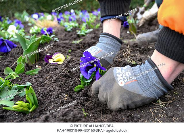12 March 2019, Lower Saxony, Braunschweig: A gardener from the city green department of the city of Braunschweig plants a purple pansy in front of the State...
