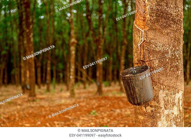 rubber tree cultive
