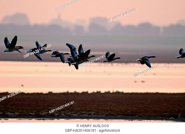 Greylag Goose (Anser anser) - Flight - After sunset