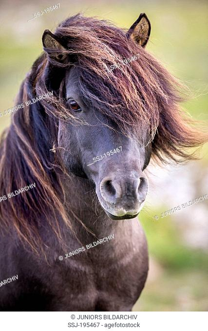 Shetland Pony. Portrait of dun stallion. Shetlands, Unst
