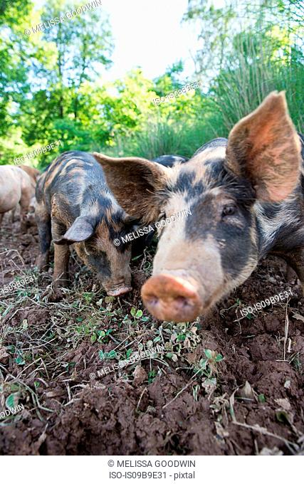 Portrait of heritage pigs on free range organic farm