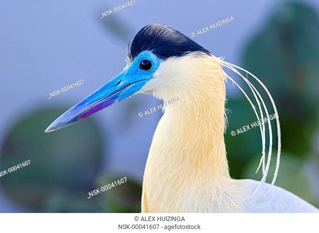 Capped Heron (Pilherodius pileatus) portrait, Brazil, Mato Grosso, Pantanal