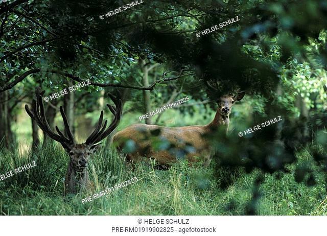 Red Deer, bulls with velvet antler, Cervus elaphus