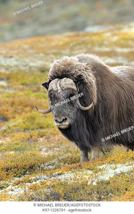 Muskox (Ovibos moschatus), Bull, Autumn, Fall, Dovrefjell National Park, Norway, Europe