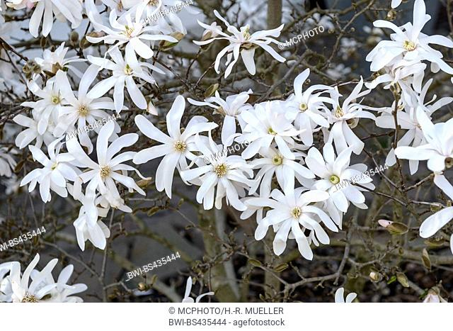 star magnolia (Magnolia stellata), blooming