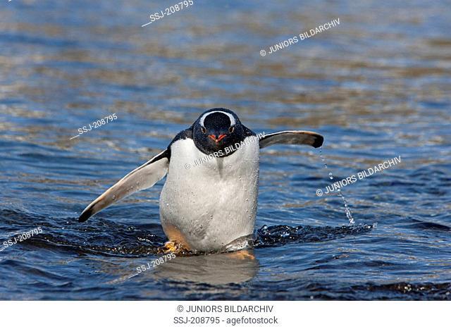Gentoo Penguin (Pygoscelis papua), coming ashore. Antarctica. No exclusive sales !