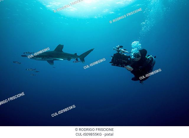 Scuba diver swimming with white tip shark (Carcharhinus longimanus) and pilot fish, underwater view, Brothers island, Egypt