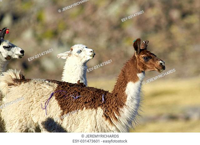 Group of llama (Lama glama) on the altiplano in Lauca National Park, northern Chile