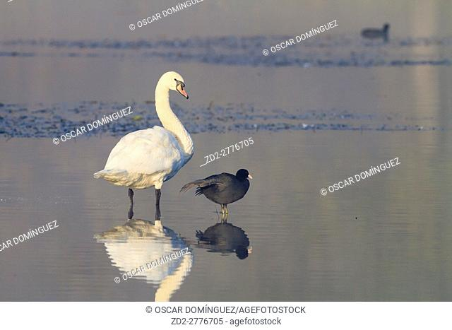 Mute Swan (Cygnus olor) and Common Coot (Fulica atra) standing on water. Lower Silesia. Poland