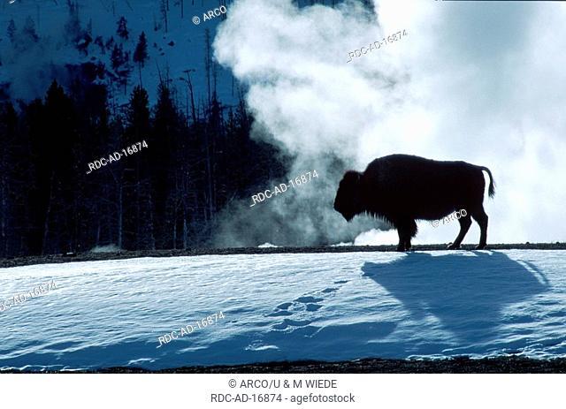 American Bison Yellowstone national park USA Bison bison side