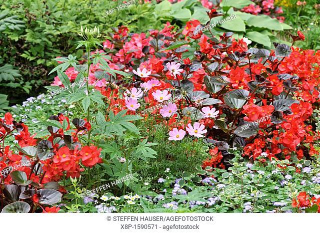 Garden cosmos Cosmos bipinnatus, begonia Begonia semperflorens and floss flower Ageratum houstonianum