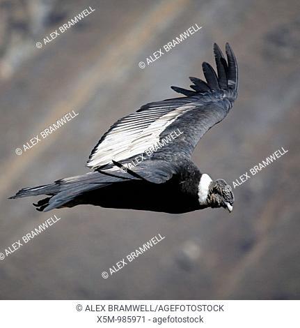 Adult male condor in flight in the Colca Canyon, near Arequipa, Peru